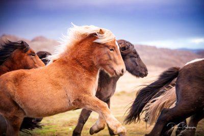 IslandpferdeInIsland-91