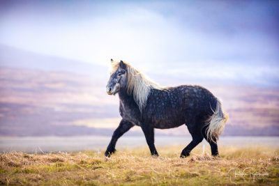 IslandpferdeInIsland-93