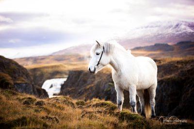 IslandpferdeInIsland-96