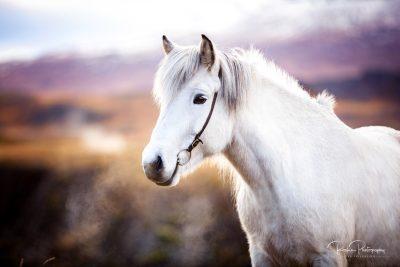 IslandpferdeInIsland-97