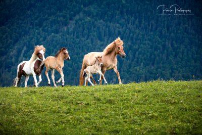 Stuten & Fohlen auf der Weide-3