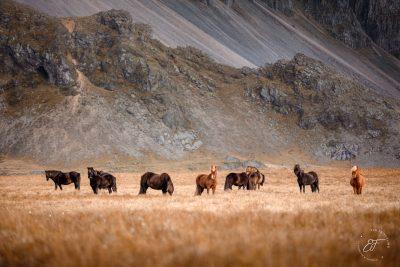 04 Hornhestar große Herde-8