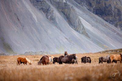 04 Hornhestar große Herde-9