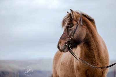 09 Eldhestar Pferde im Portrait-1